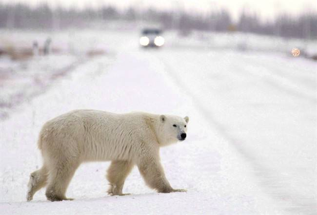 Young hungry Study profiles polar bear attacks